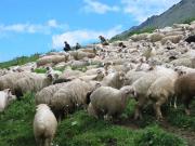 sheep_jpg