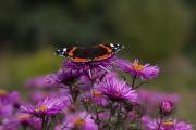In de vlindertuin bij Eelde