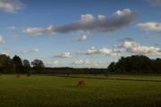 Koeien aan de rand van het Friescheveen