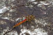 libelle op boomstronk