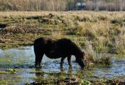 Paarden achter de Hoornsedijk