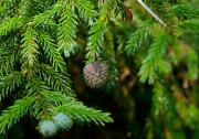 pink-pine