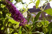 Vlinder op vlinderstruik in eigen tuin