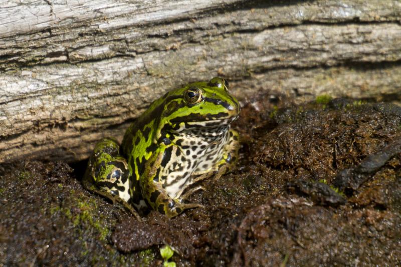 kikker tegen boomstronk