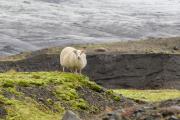 schaap-gletsjer