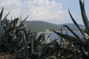 mamula agaves