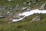 Alpensteenbok zittend bij ijs