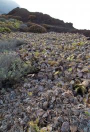 Cactussen bij Punta de Teno