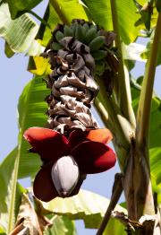 Botanical Garden in Puerto de la Cruz (bananen)