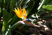 Botanical Garden in Puerto de la Cruz (paradijsvogelbloem)